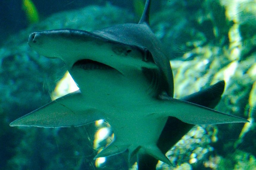 The bonnethead shark follows an omnivorous diet in which seagrass plays a key, nutritional role.