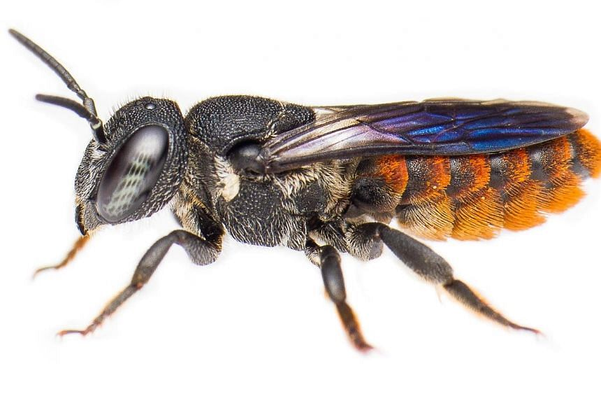 The fiery resin bee was first sighted in Singapore's forests in 2012. The gold-margined stingless bees are native pollinators found on islands such as Pulau Ubin. The cerulean carpenter bee has a dense coat of blue hair and has been featured on a Sin