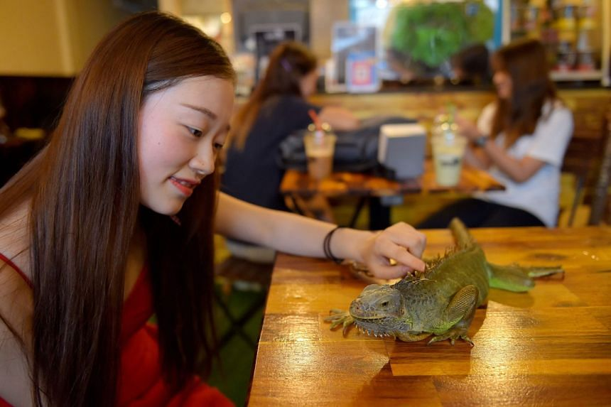 A customer petting a green iguana at the Reptile Cafe in Phnom Penh, on Aug 18, 2018.