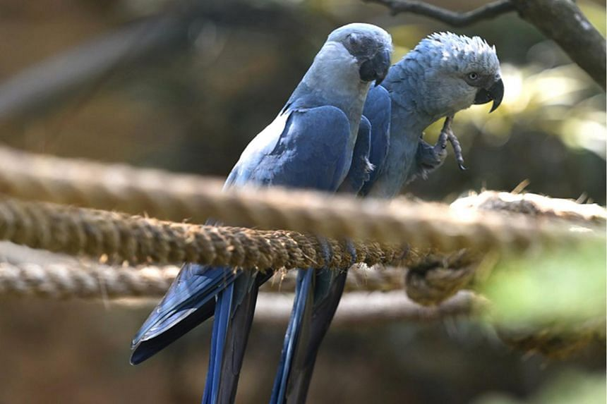 Blue bird from 'Rio' now extinct in the wild