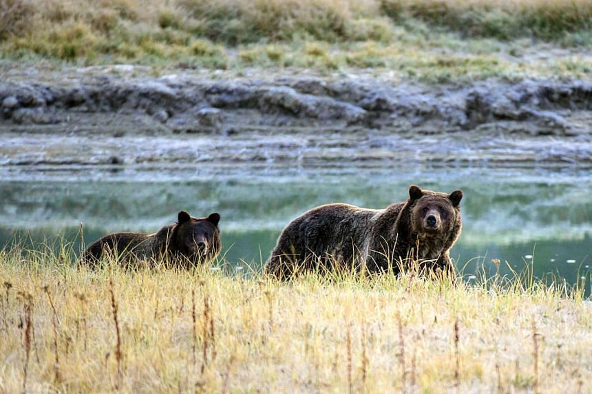 File photo showing a grizzly bear and her cub walking near Pelican Creek in the Yellowstone National Park in Wyoming, US.