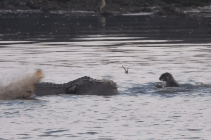 A group of otters were filmed challenging a famed tailless crocodile in a video uploaded online on Sept 9, 2018.