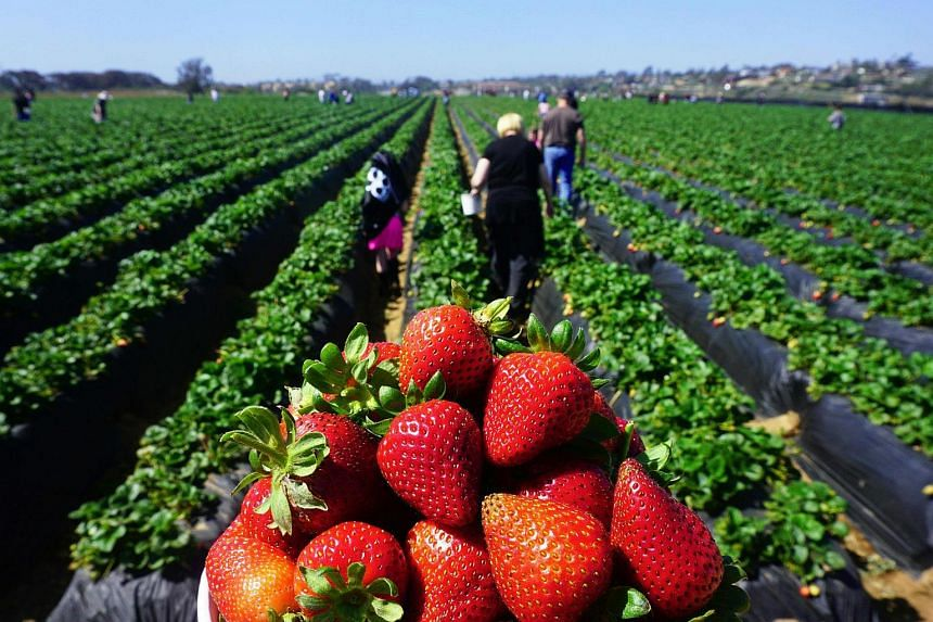 This latest health scare casts a shadow over Australia's strawberry industry, which is worth more than A$130 million every year.