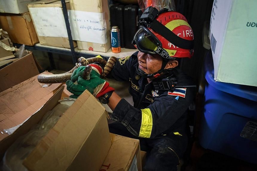 Thai firefighter and snake expert Sutaphong Suepchai holding an oriental rat snake captured inside a storage room of a home in Bangkok, on June 15, 2018.