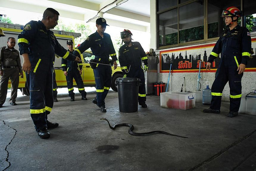 Thai firefighters observing a cobra during a snake-catching training session at a fire station in Bangkok, on June 15, 2018.