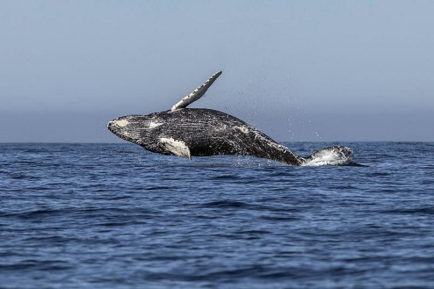 File photo taken on March 15, 2018, showing a humpback whale in the waters of Mexico.