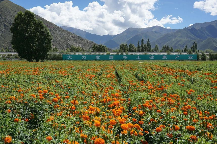 Villagers relocated to homes near a horticulture industrial park tend to fields of marigold, burdock and snow chrysanthemums at Chushur Pure Land Health Industry.