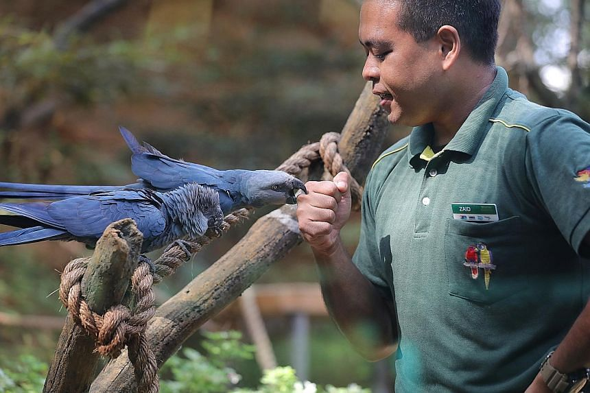 Mr Zaid Harithsah, a junior keeper at the Jurong Bird Park, feeding Spix's macaws Rio (far left) and Frieda. The Brazilian natives, both female, have been on display at its parrot paradise exhibit since last November. Both macaws are here on a 10-yea