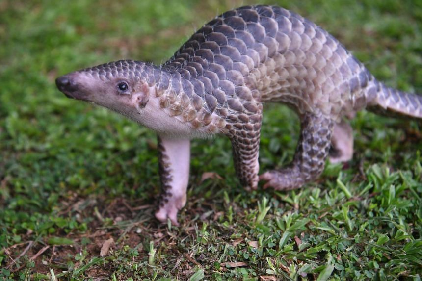 The baby pangolin was rescued when it was just 1½ months old, after it was found alone at a construction site in the Upper Thomson area.