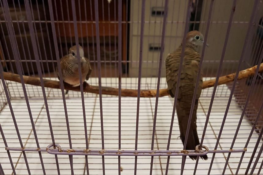 Two zebra doves were crammed in separate socks and placed in two drawstring pouches hidden in a man's pants during a foiled attempt to smuggle in the birds.