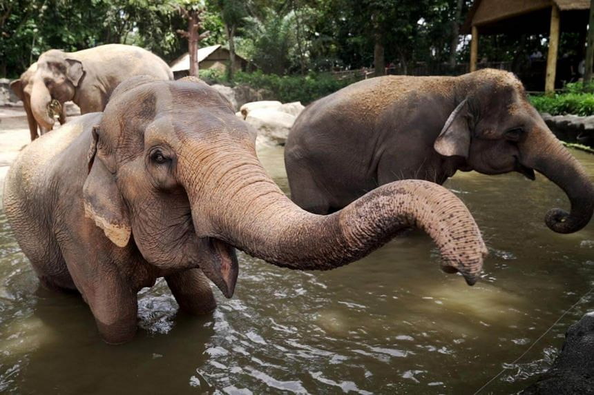 The show's new format is among the steps that Wildlife Reserves Singapore has taken in recent years to move towards a protected contact management system for its 11 elephants.