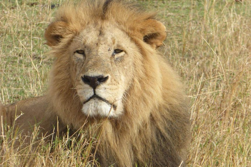 """The report said SIA was responsible for transporting all """"lion"""" bones out of South Africa and into South-east Asia."""