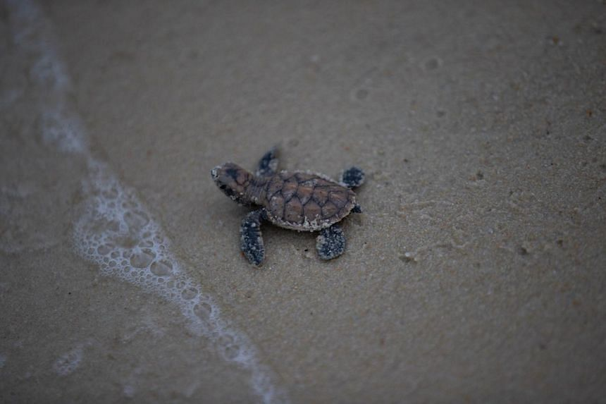 More than 100 newborn hawksbill turtles made their way into the sea at Tanjong Beach in Sentosa on Wednesday (Sept 19), after they were checked and measured by SDC officials.