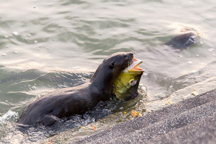 An otter from the Bishan family with its catch in the waters near Marina Bay on April 6, 2018.