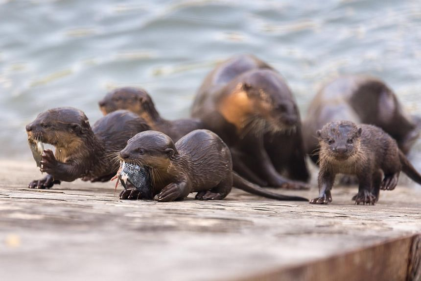 A family of otters near Pasir Ris Park in this photo taken on June 5, 2018.