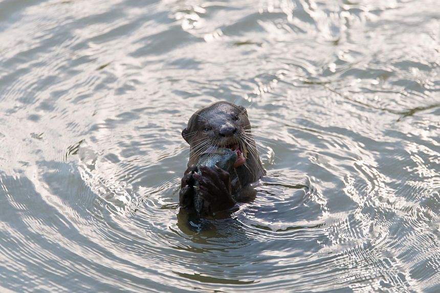 An otter feeding on its catch in the water near Pasir Ris Park on June 5, 2018.