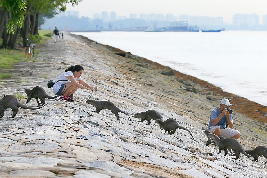 Otters in most other environments are nocturnal. But the fact that the otters in Singapore are active in the day indicates that the otters have grown to trust people here.