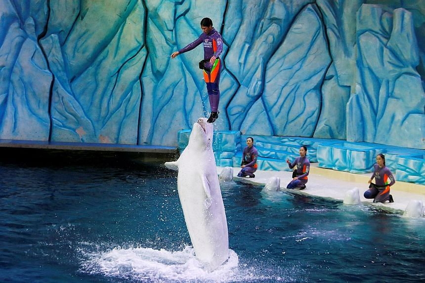 A trainer is lifted by a beluga during a show at Chimelong Ocean Kingdom in Zhuhai, China.