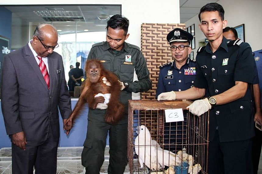 Royal Malaysian Customs Department director-general T. Subromaniam (left) looking at a seized baby orang utan during a press conference in Perlis, northern Malaysia, on Sept 24, 2018.