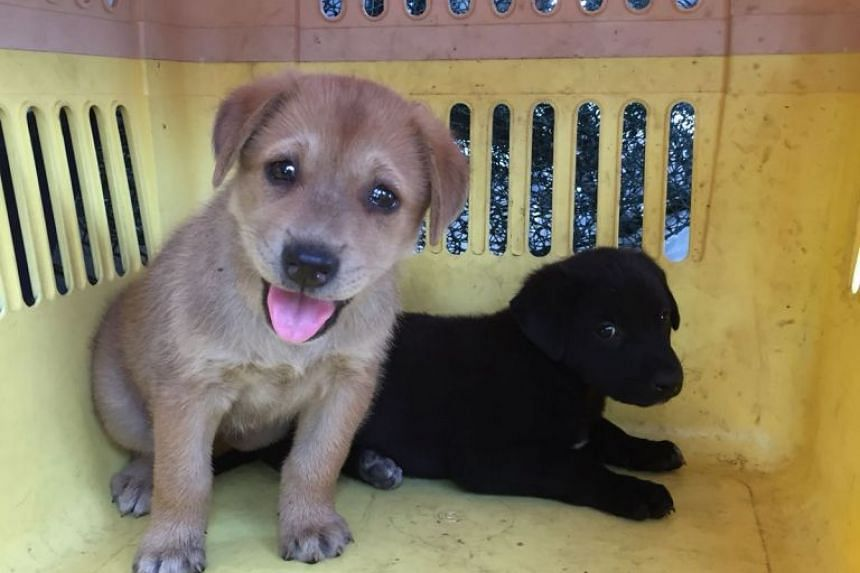 Two puppies were among the strays rehomed as part of the TNRM collaboration between AVA and SOSD. The puppies were rescued on the same day their parents were trapped for neutering.