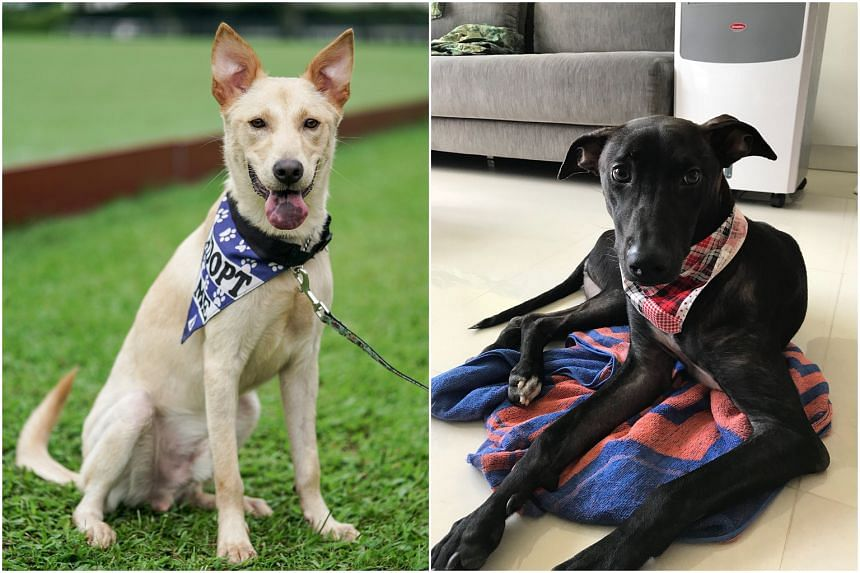 (From left) Yuzu and Kodi were among the stray dogs caught and neutered as part of the Trap-Neuter-Release-Manage programme in Sembawang.