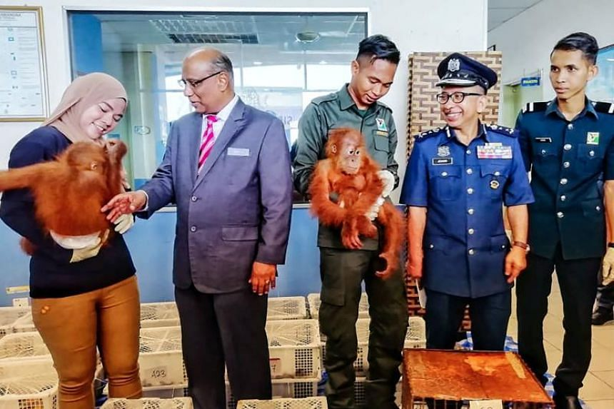 Royal Malaysian Customs Department director-general T. Subromaniam (second from left) looking at a seized baby orang utan during a press conference in Perlis, Malaysia, on Sept 24, 2018.