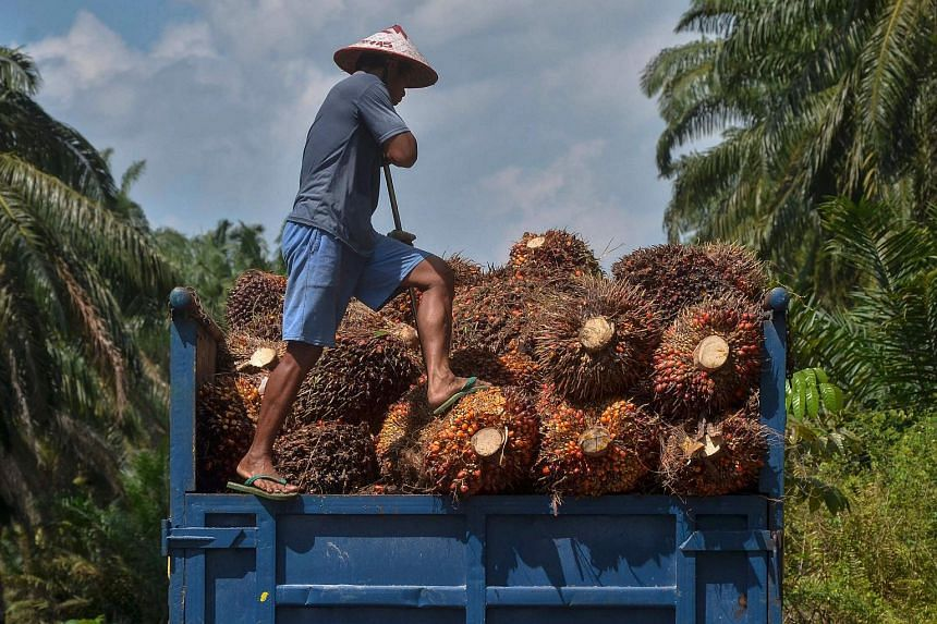 Oil palm seeds being loaded onto a truck in Kampar, Riau province, on Aug 18, 2018.