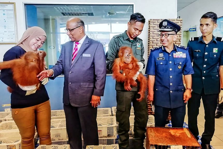 Malaysian Customs chief T. Subromaniam (second from left) at a press conference yesterday, during which a pair of rescued orang utans were shown to the media.