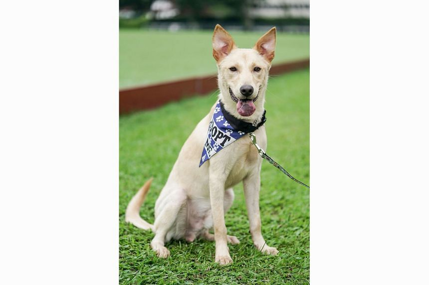 Former stray dog Kodi has been rehomed as part of the project in Sembawang. Yuzu, a former stray dog, is looking for a permanent home, after it was caught and neutered as part of a localised Trap-Neuter-Release-Manage programme in Sembawang.