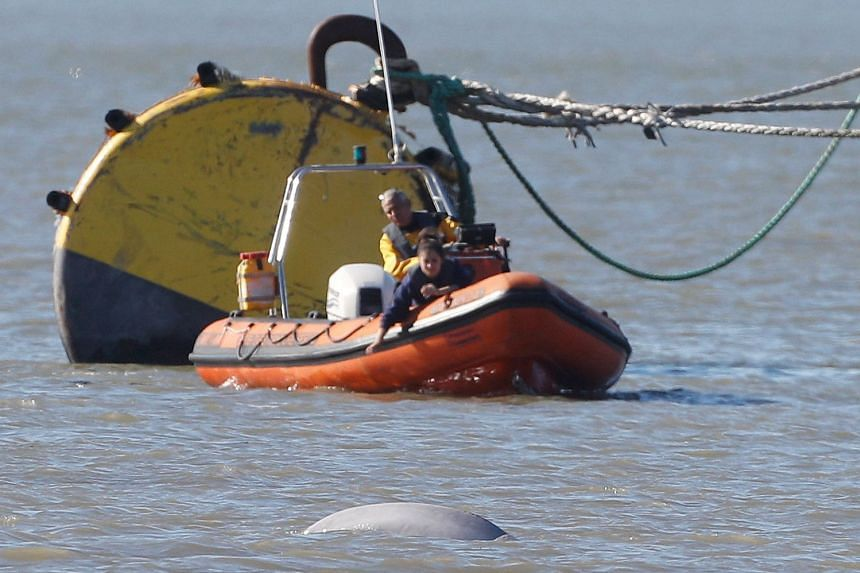 A Beluga whale swims in the River Thames near Gravesend, east of London.
