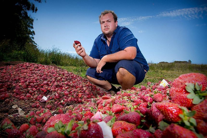 Australian farmer Aidan Young with the strawberries he will destroy at his farm in Queensland following the needle scare. The crisis has led to falling sales and forced growers to dump millions of strawberries. It has also raised questions about the