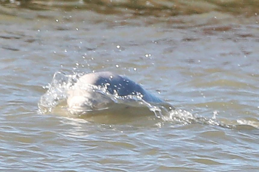 A beluga whale breaches in the River Thames close to Gravesend, east of London.