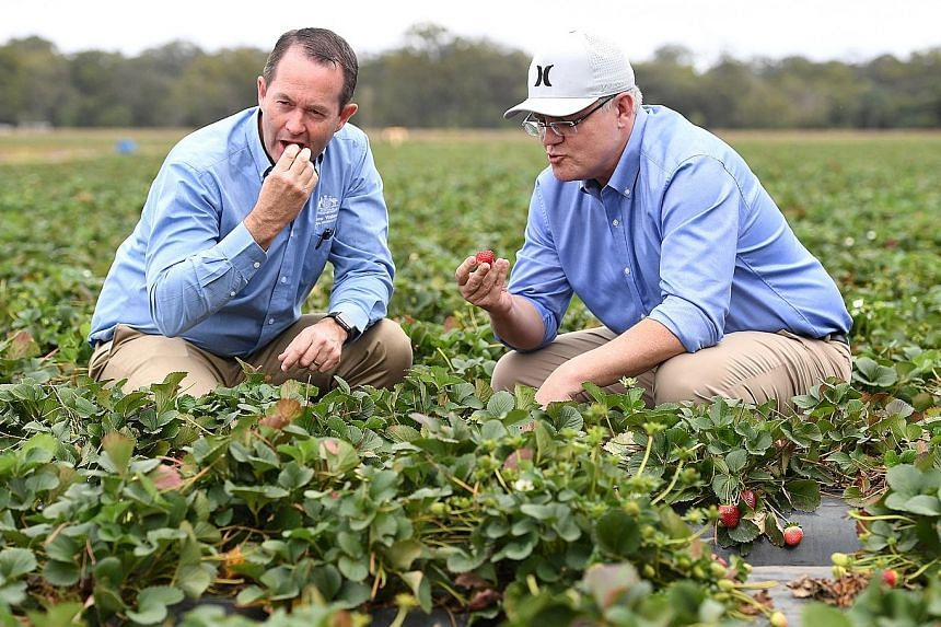 Australian Prime Minister Scott Morrison (near left) and MP Andrew Wallace sampling strawberries at a farm in Queensland yesterday. The industry has suffered major losses after needles were found in strawberries sold to the public.