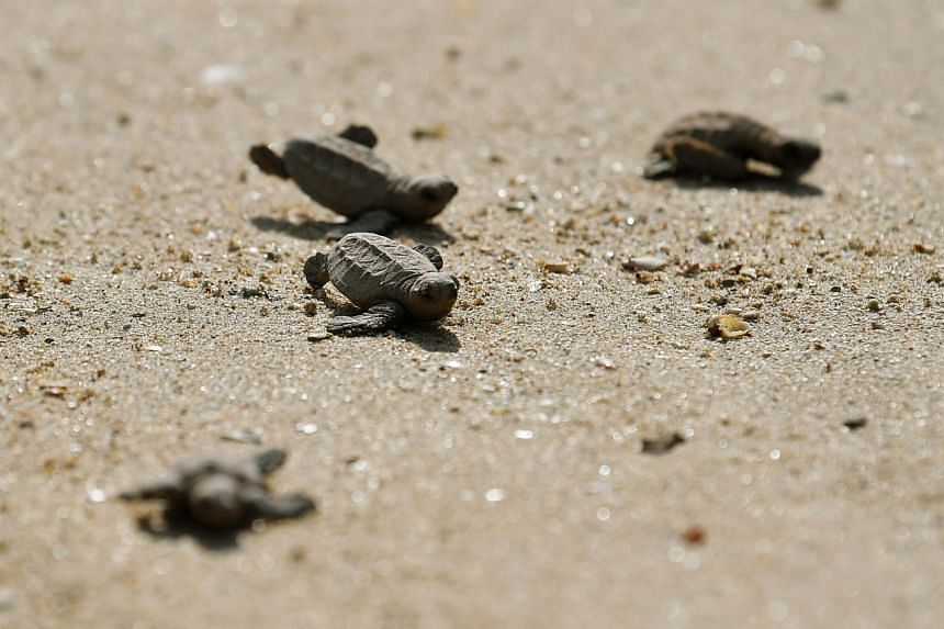 Turtle hatchlings taking their first steps on the beach, and into the sea.