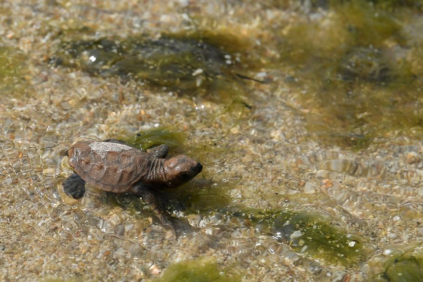 A turtle hatchling is released into the sea near the new turtle hatchery at Sisters' Island Marine Park. The National Parks Board said that the location was chosen as it was near to areas with high turtle nesting activity.