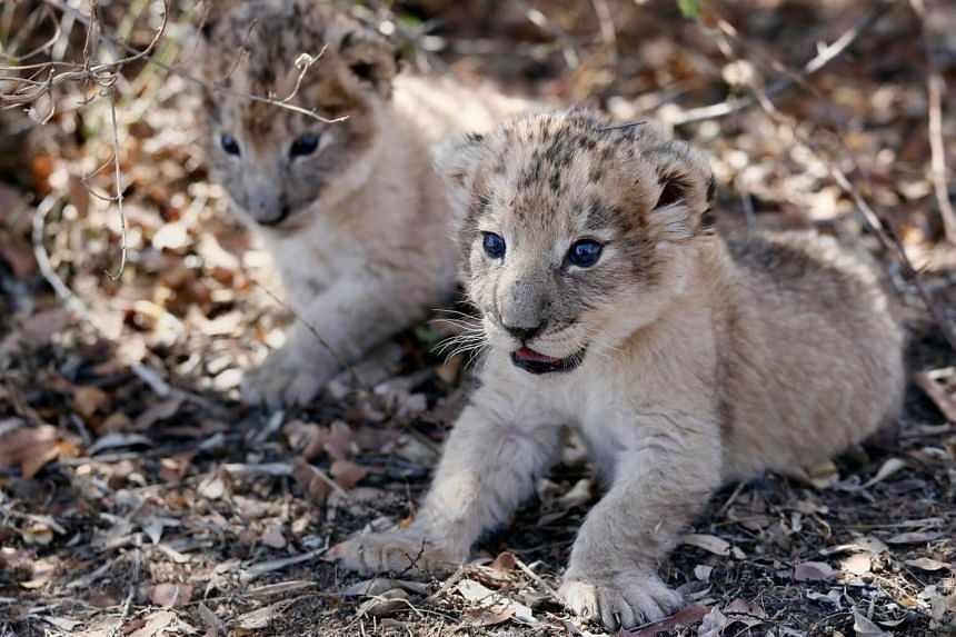 The world's first lion cubs born through artificial insemination, Victor and Isabel, rest under a tree at the Ukutula private game conservation centre.