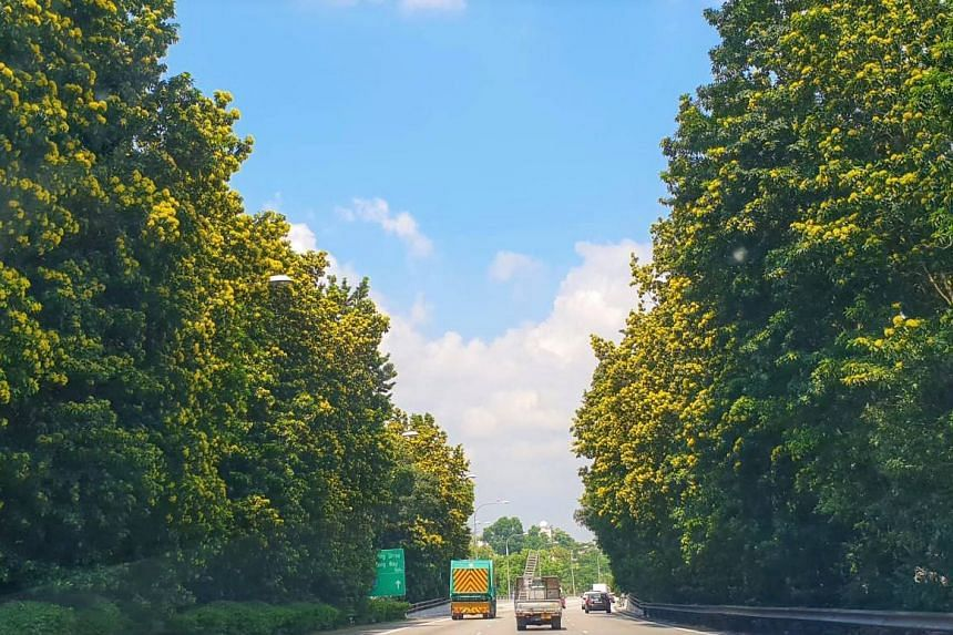 Golden penda trees have painted some parts of Singapore a bright shade of yellow, such as with this stretch of road along the Kranji Expressway.