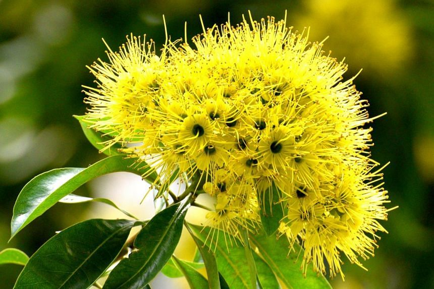 Singapore awash in bright yellow as golden penda flowers bloom golden penda trees are native to australia and were introduced to singapore in 1982 the mightylinksfo