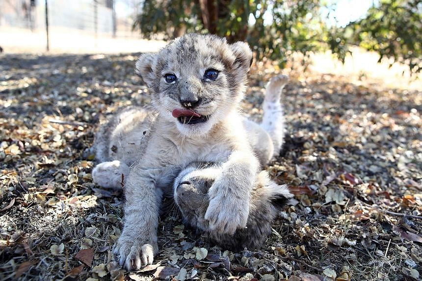 The world's first lion cubs born through artificial insemination, Victor and Isabel, at the Ukutula private game conservation centre, north-west of the South African capital Pretoria. University of Pretoria scientists hope the technique could be appl