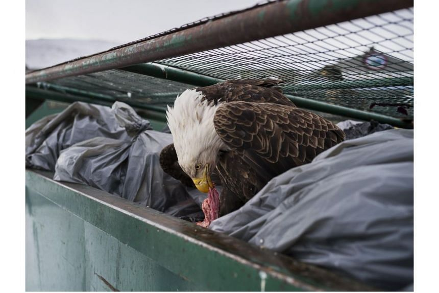 A bald eagle feasts on meat scraps in the garbage bins of a supermarket in Dutch Harbor, Alaska, USA, on Feb 14, 2017. The photo won top prize in the Nature Singles category.