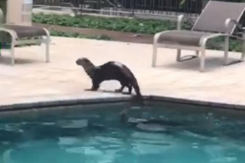 In a video taken by a resident at The Berth by the Cove, two otters were spotted swimming a lap in the condominium's pool on Oct 1, 2018.
