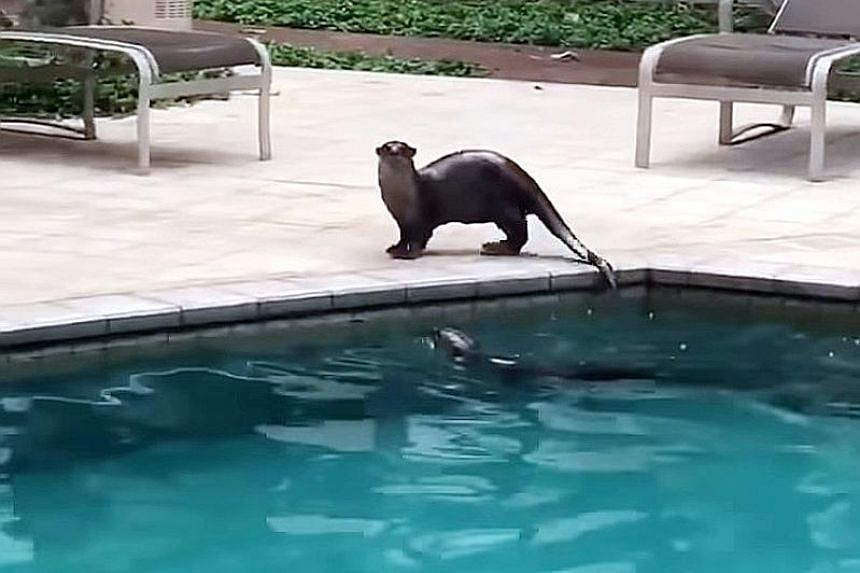 """Two otters were captured on video taking to the pool at The Berth by the Cove. """"The security guards and I spot them quite frequently, often in the middle of the night,"""" said Mr Brian Ladrillo, who works at the condo."""