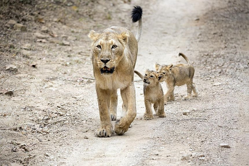 The Asiatic lion population in Gir in the Indian state of Gujarat grew from around 20 in the early 20th century to 523 in 2015. But the risk of restricting the last surviving wild Asiatic lions to the area was highlighted recently when 23 of them die