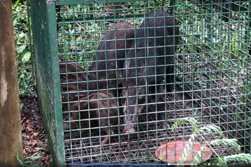 The caged wild boars were rescued by Acres and released back into the wild.