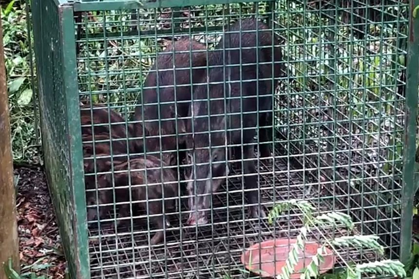 The animals, including three piglets, were found in distress in a metal cage off Sime Road on Sunday. Acres said the trap, measuring about 1.2m by 1.8m, appeared to be targeted at wild boars. Investigations to determine who laid the trap are ongoing.