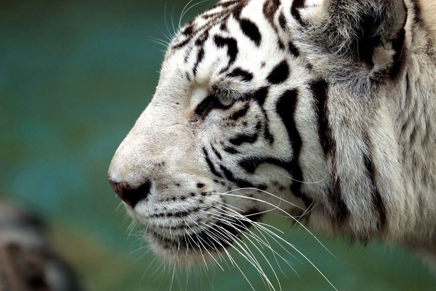 File photo showing a white Bengal tiger at Huachipa zoo in Lima, Peru, on July 26, 2018.