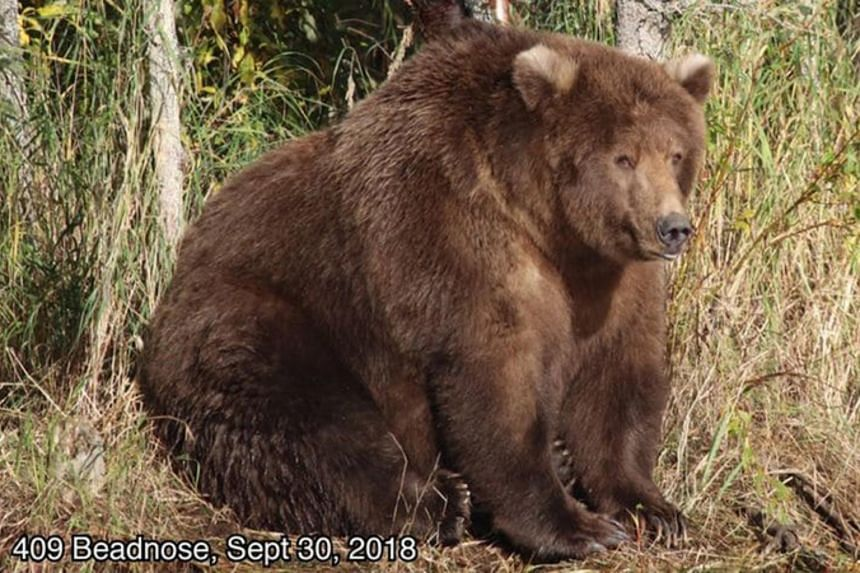 The female brown bear known as 409 Beadnose was voted Fattest Bear of 2018 in a wildly popular event called Fat Bear Week at Alaska's Katmai National Park and Preserve.