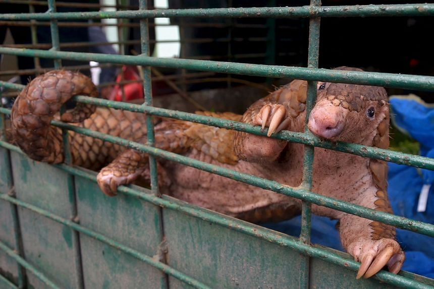 A pangolin is pictured following a raid in Pekanbaru, Indonesia in 2017.