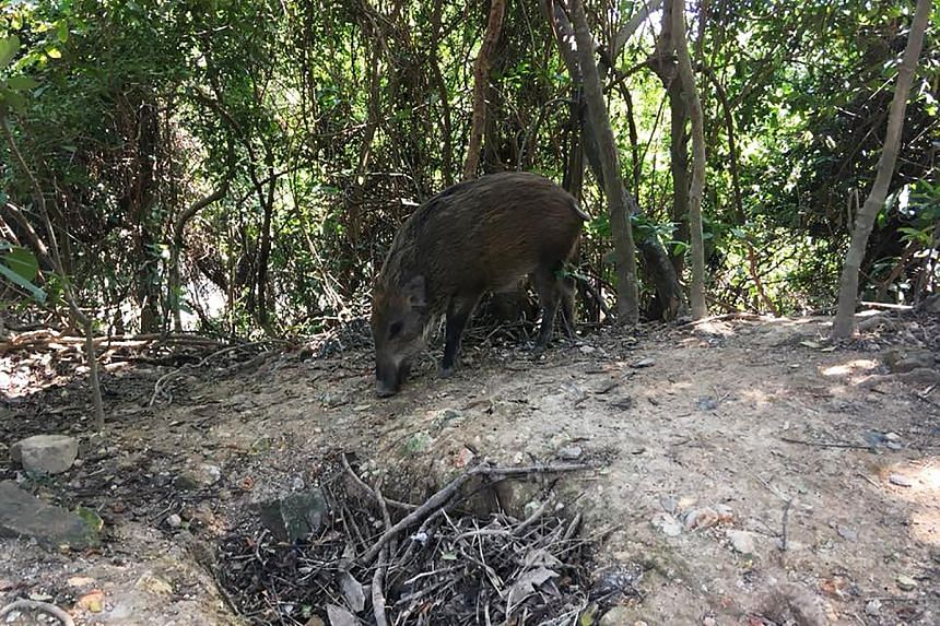 A photo provided by Mr Steve Corry shows a wild boar he sighted in Aberdeen Reservoir in Hong Kong in March 2018.