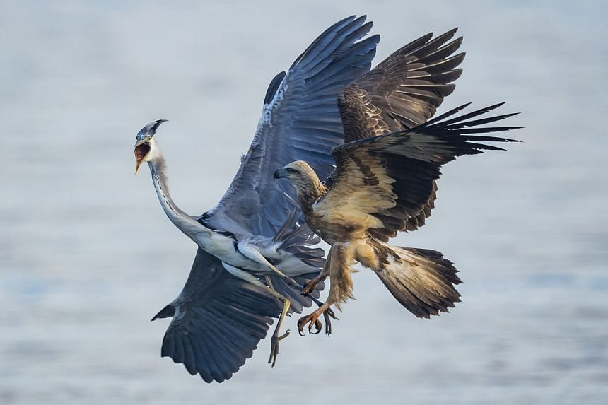A white-bellied sea eagle (Haliaeetus leucogaster) attempting to eat a larger grey heron (Ardea cinerea). The dramatic fight lasted less than a minute and ended with the heron escaping. A male-and-female pair of pink-necked green pigeons (Treron vern